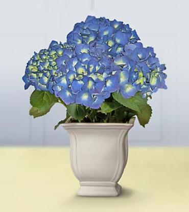 Winter Blessings Blue Hydrangea Plant