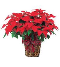 Huge Red Poinsettia