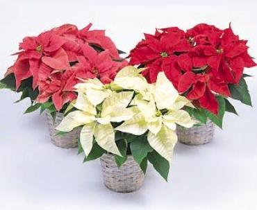 Pick your color Poinsettia
