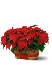 Baby Poinsettia Double Basket