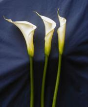 Large Calla Lily