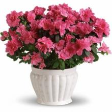 Azalea Plant in a Container