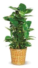 Medium Pothos Pole Ivy