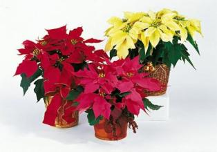 Pick Your Color Poinsettia Large