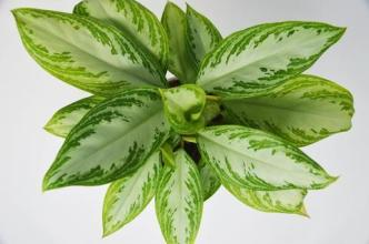 Small Chinese Evergreen