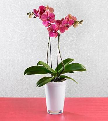 Beauty Blooms Orchid Plant