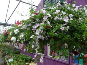 "8"" Hanging basket"
