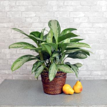 Large Chinese Evergreen