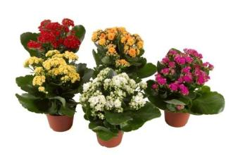 Kalanchoe Plant - Pick your color