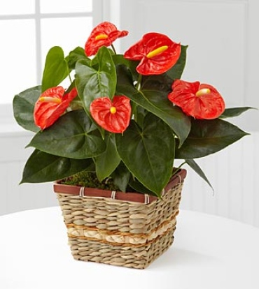 Large Anthurium Plant