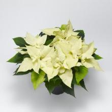 Small White Poinsettia