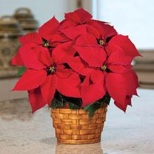 Small Poinsettia