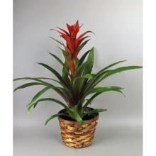 Small bromeliad in a basket