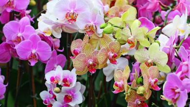 Small Designer\'s Choice Orchid Plant