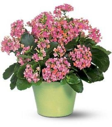 Double bloom Kalanchoe
