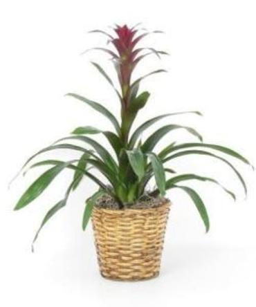 Large Bromeliad in a Basket