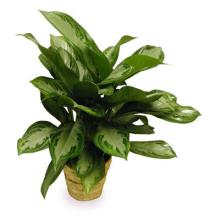 Medium Chinese Evergreen